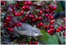 Barred Warbler